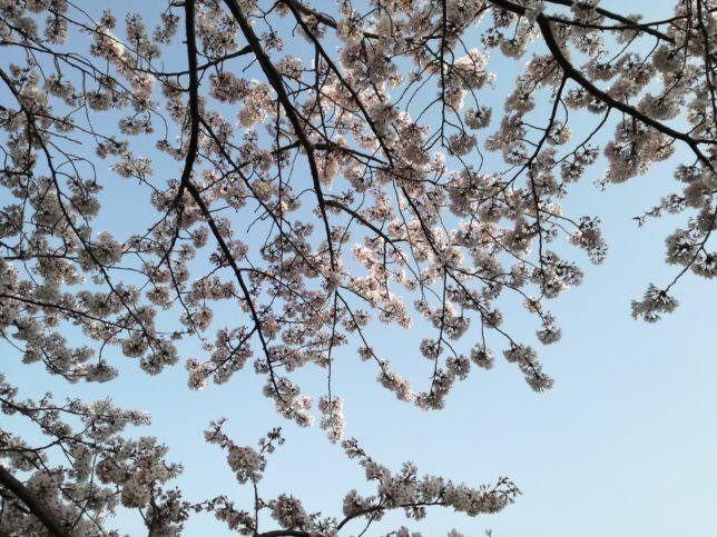 お花見散歩に出かけました